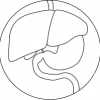 Bild mit Leber, Gallenblase, Magen, Darm